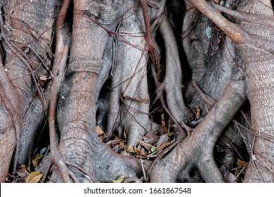 Big ficus root in the garden.