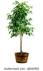 Big ficus tree in wood pot