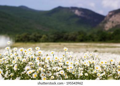 Big field of daisy flowers