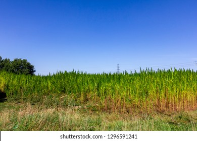 a big field full of hemp plants