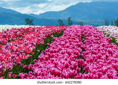 Big field of red tulips country farm