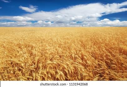 Big field of wheat panorama. Harvest of wheat