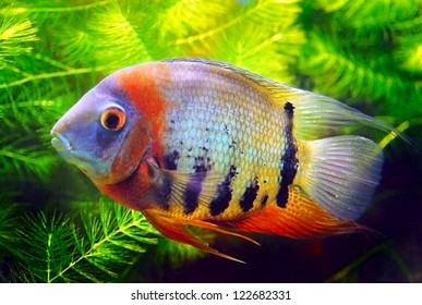 Big fish in aquarium. Green water plants background.