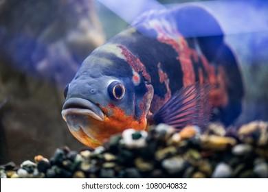 Big fish astronotus swims in a clean aquarium. Look at the aquarium fish.