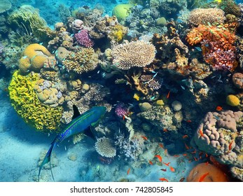 big fish swims underwater amid the beautiful coral and colorful tropical fishes in Red Sea, Eilat, Israel