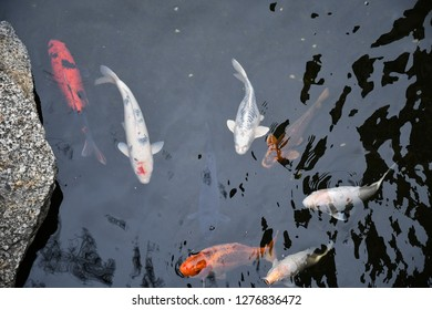 Big fishes koi swim in clear pond water. Top view of goldfishes and colorful Japanese carps are swimming underwater in lake. Waved aquatic texture. Natural background with fishes in dark water.