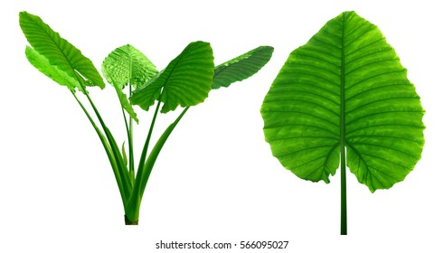 Big flat leaf isolated on white background, glossy green line natural texture, fresh palm treetop, leafy Araceae plant tree, large fern Colocasia esculenta foliage with clipping path