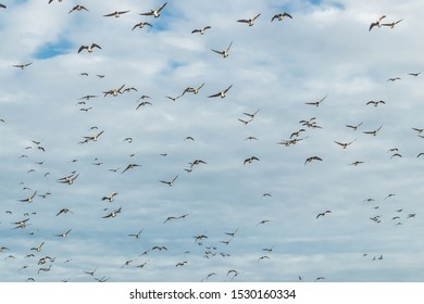 A big flock of barnacle gooses is flying in the sky. Birds are preparing to migrate south.