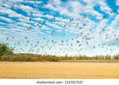 A big flock of barnacle gooses is sitting on a field and flying above it. Birds are preparing to migrate south. September 2019, Finland