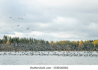 A big flock of barnacle gooses is taking off from the river Kymijoki. Birds are preparing to migrate south.