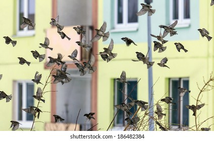 big flock of city sparrows startled to flight, frozen in motion