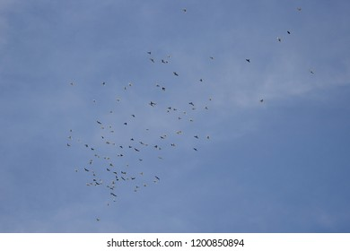 Big flock of pidgeons, birds and doves flying in the clear sky over the neighbourhood in daytime.