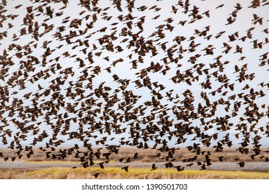 A big flock of red-winged blackbirds flying over an agricultural farm field in Northern California