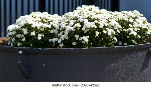 Big flower pot in garden courtyard. Patio outside decoration elements. Big flower pot with small white plant. Street decoration. Plants in the city. High quality photo