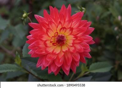 Big flower of Red dragon Dahlia Petal flower