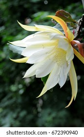 Big flower of a yellow and white epiphyllum cactus