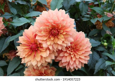 """Big flowers of blossoming autumn orange dahlia """"Gallery Vincent"""" in russian garden. Blooming dahlias. Summer blossom. Rural nature. Seasonal gardening in village. Bloom. Blossoming orange dahlias"""