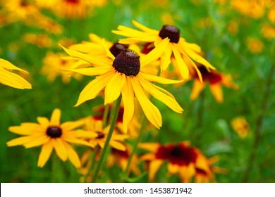 Big flowers of yellow rudbeckia. Blooming yellow flowers rudbeckia (Black-eyed Susan) flower bed in the summer garden. Soft blurred selective focus.