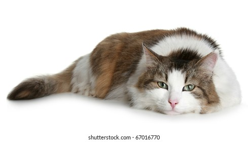 Big fluffy cat brown with white colors lies on a white background