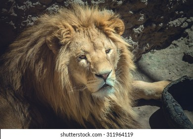 Big fluffy lion lying down and resting after playing with rubber wheels and looking at the visitors