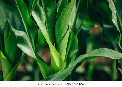 big fresh green corn leaves