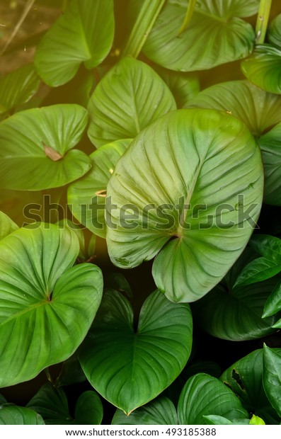 Big Fresh green leaves.Green background with leaves and sun light
