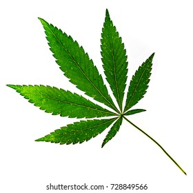 big fresh organic cannabis leaf, marijuana isolated on white background. Green leaf skeleton with some cracked parts against white. Happy life with cannabis lea