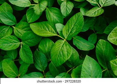 Big and fresh soybean leaves in detail
