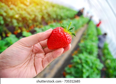 A big fresh strawberry in hand at Korea strawberry farm.