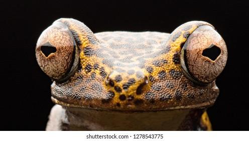 big frog eyes of the tropical treefrog Boana geografica