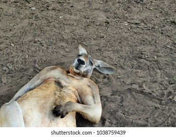 Big so funny wild red kangaroo sleeping on the ground in Queensland, Australia