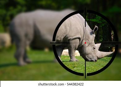 Big game hunting - White rhino in the rifle sight