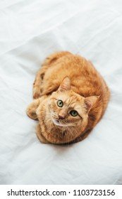 Big ginger cat laying on white linen looking at camera
