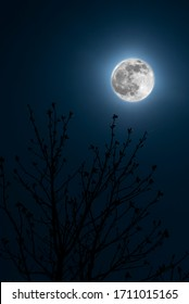 Big glowing super moon in front of a tree of some closed cherry blossoms