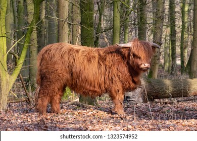 Big golden Scottish Highland cow standing between the trees of a forest in evening sun. Big horns, Amsterdam, The Netherlands, Europe.
