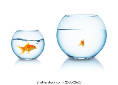 big goldfish is being bullied in a fishbowl