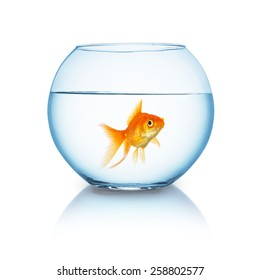 big goldfish in a fishbowl on white background