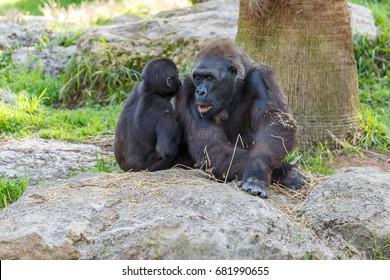 Big gorilla sitting with her child