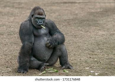 big gorilla smoking a piece of stick