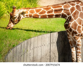 A big graceful african exotic giraffe with long tall elegant neck and spotted pattern stretching its cute face and tongue into sunlight and wild green grass eating outdoor in a zoo safari animal park.
