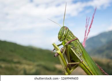 big grasshopper close up shot fear inducing size