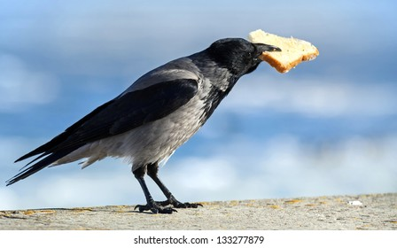 Big gray crow sits with big piece of bread in beak