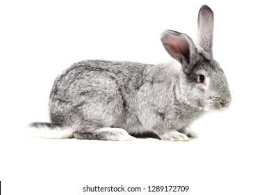 big gray rabbit, isolate, easter rabbit