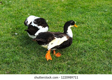 A big gray and white  duck, walking on a green lawn. Poultry on a farm in the village. Waterfowl birds