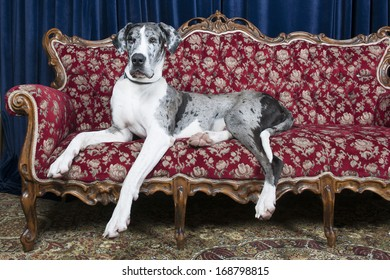 BIg great dane resting on couch in studio