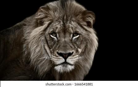 Big Great Dangerous Lion Cute Face