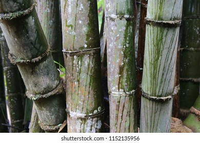 big green bamboo