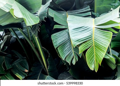 big green banana leaves