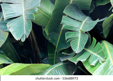 big green Banana leaves in garden