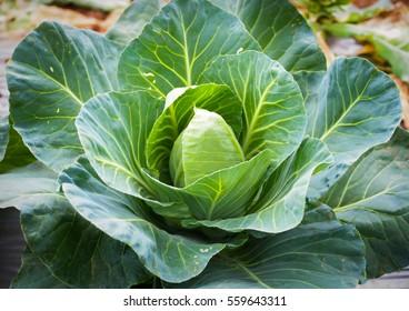 Big green cabbage in garden